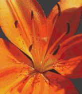 Tiger Lily Glory