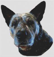 Ringo - Australian Cattle Dog