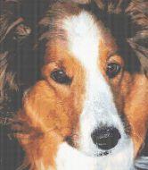 Shetland Sheepdog - Bob