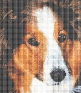 Shetland Sheepdog - Bob PDF