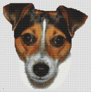 Tri-color Jack Russell Terrier
