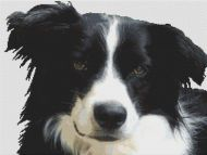 Border Collie PDF