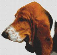 Tri-Color Basset Hound