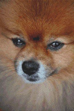 Pomeranian Portrait PDF