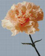 Peach Carnation