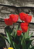 Red Tulips PDF