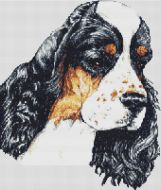 Tri-colored American Cocker Spaniel
