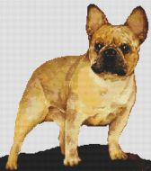 French Bulldog - Fawn