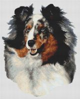Shetland Sheepdog - Blue Merle