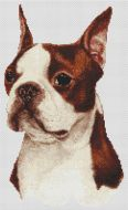Red Boston Terrier