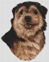 Norfolk Terrier - Black and Tan