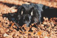 Belgian Sheepdog PDF