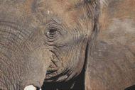 Through the Eye - Elephant