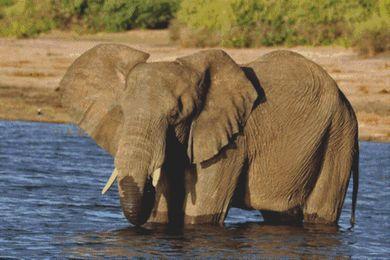Relaxing - Elephant