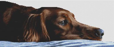 Tired Irish Setter