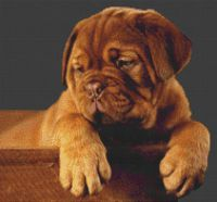 Dogue de Bordeaux Puppy PDF