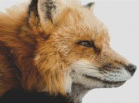 Red Fox PDF
