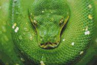 Green Tree Python PDF
