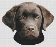 Chocolate Lab Pup 2