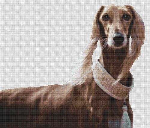 Saluki Beauty
