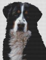 Bernese Mountain Dog 2